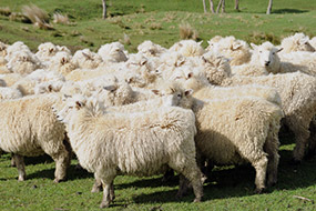Carrfields Market update from CP Wool - Carrfields - Your trusted partner