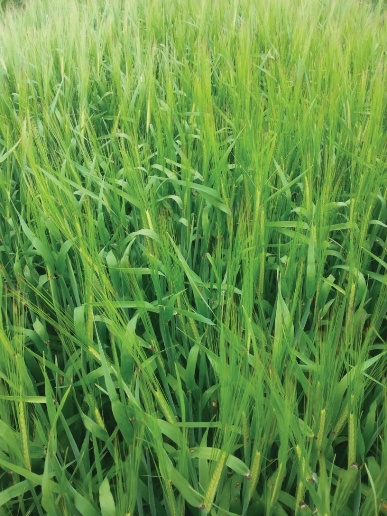 Carrfields Irina Spring Barley - Carrfields - Your trusted partner