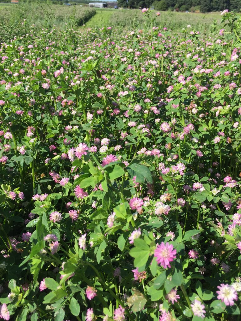 Carrfields Turbo Persian Clover - Carrfields - Your trusted partner