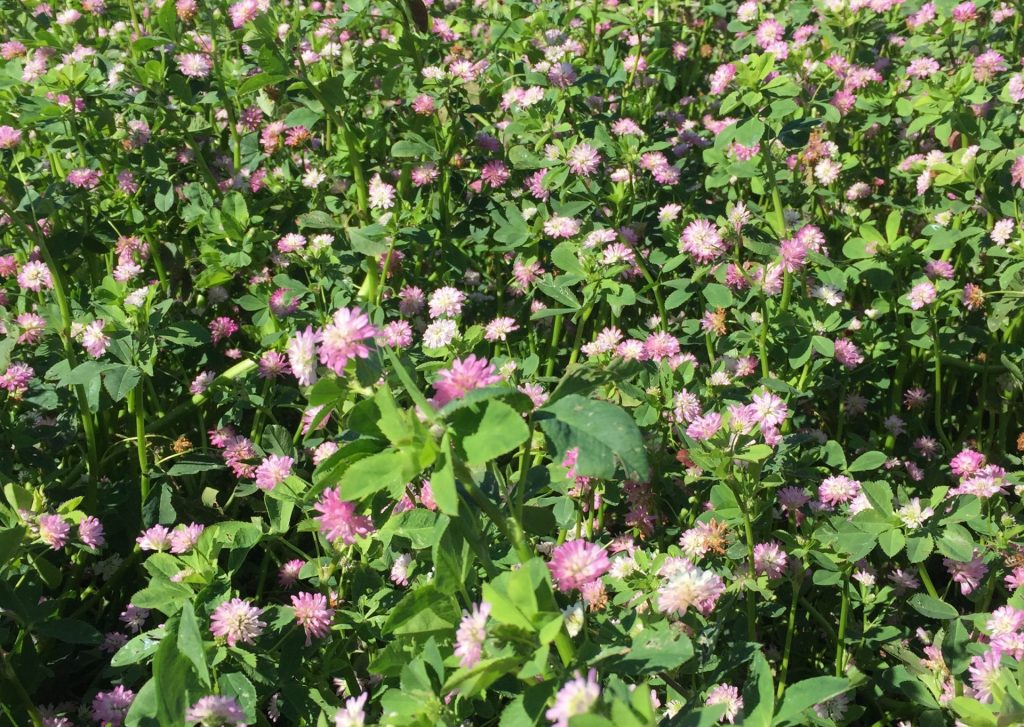 Carrfields  » Turbo Persian Clover