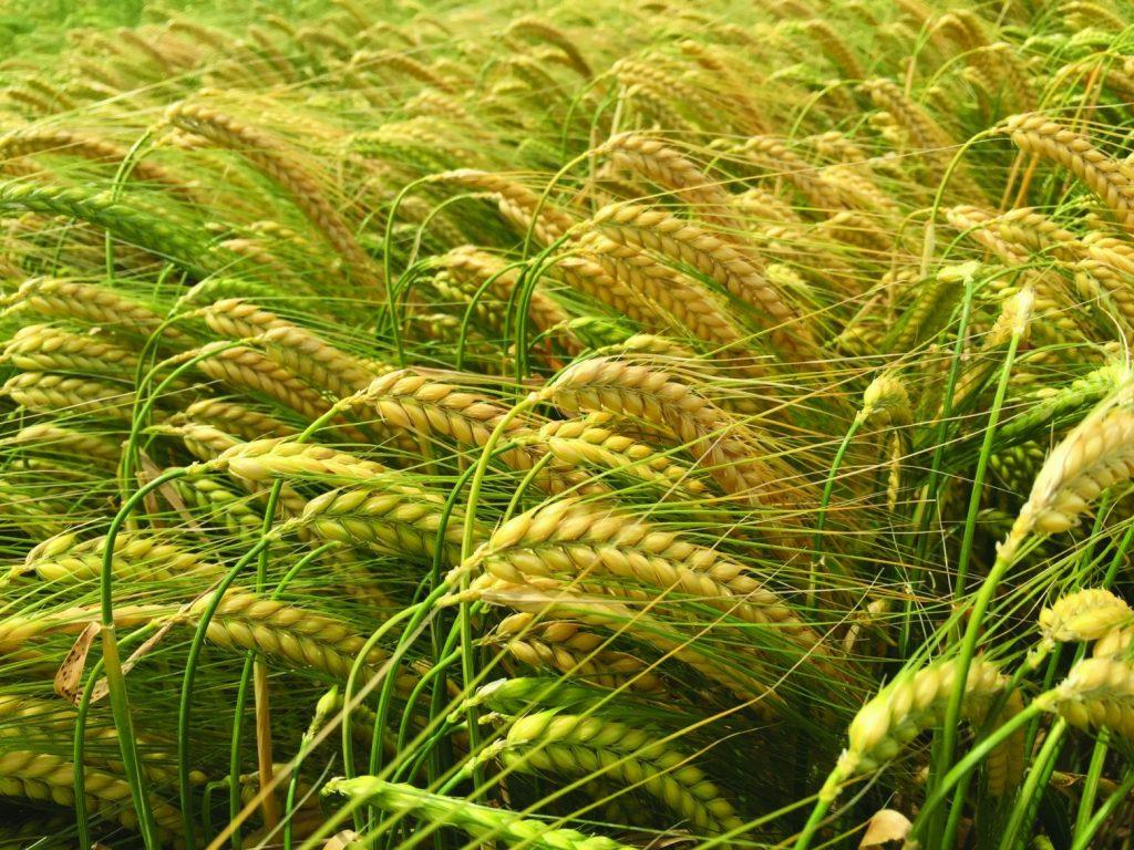 Carrfields  » Orwell / Winter feed barley