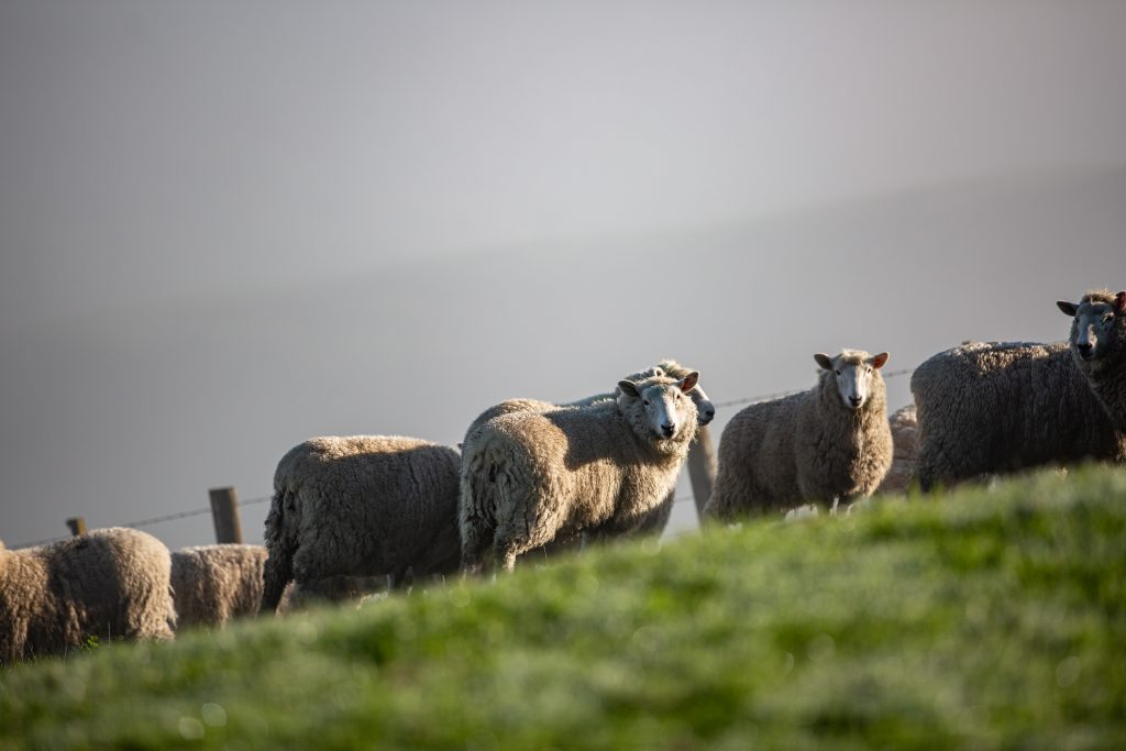 Carrfields  » Primary Wool Co-Operative and Wools of New Zealand commit to work together to rejuvenate New Zealand's strong wool sector